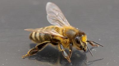 Bienen können tatsächlich fliegen!